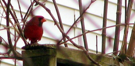 cardinalblog.jpg