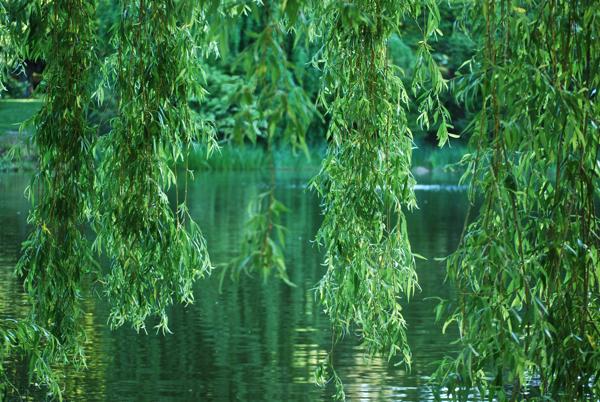 fotography Salix babylonica ile ilgili görsel sonucu